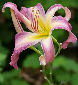 pink lily web