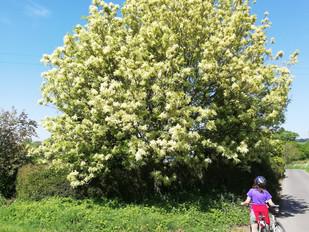 Tree flowers no.9