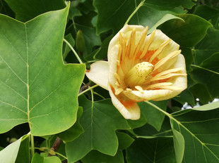Tree flowers No.12