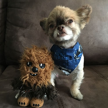 Chewie the Chi and Chewbacca