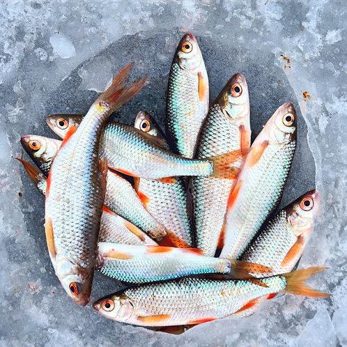 Kati Fish (Big) Gross Wt:1KG     Net Wt:700gms