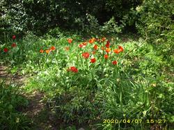 John Innes Park : Tulips