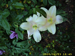 Tulips : John Innes Park