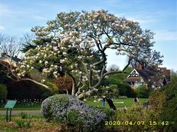 John Innes Park : Magnolia