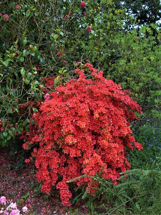 Azalea : John Innes park