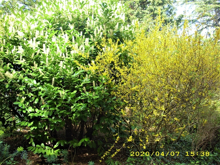 John Innes Park : various Shrubs