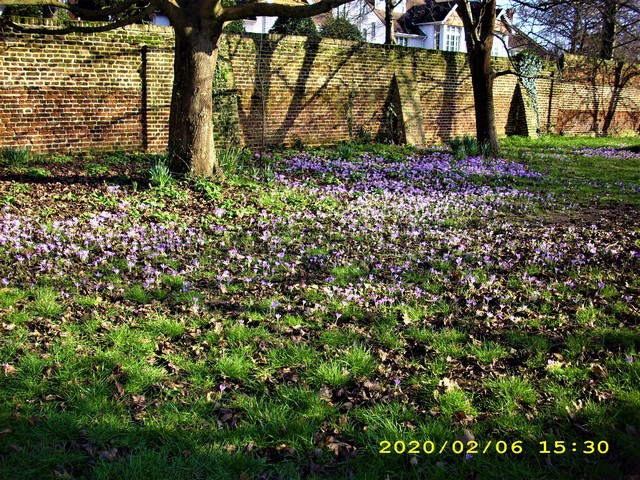 Church Lane Playing Fields : Field of crocus