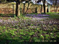 Church Lane Playing Fields : Field of crocus