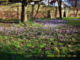 Church Lane Field crocus _web.jpg
