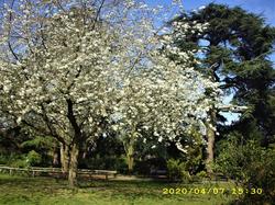 John Innes Park : Cherry Blossom