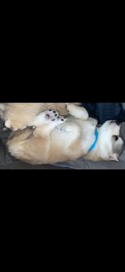 Siberian husky/ German shepherd puppies for sale