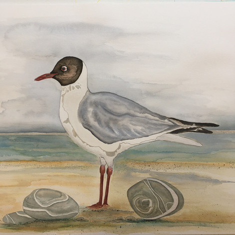 Mother Ivey's Bay Gull