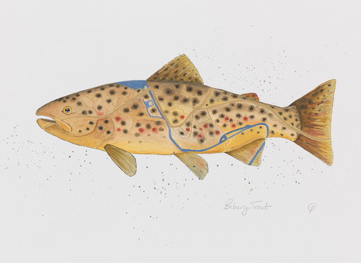 Bibury Brown Trout