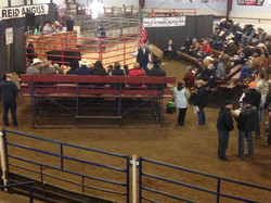 Reids Angus Bull Sale