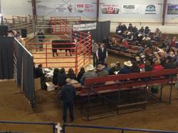 Reids Angus Bulls 2015