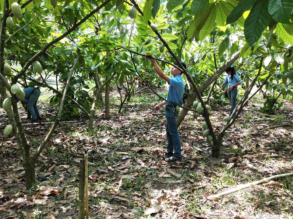Cacao plantation in Copan