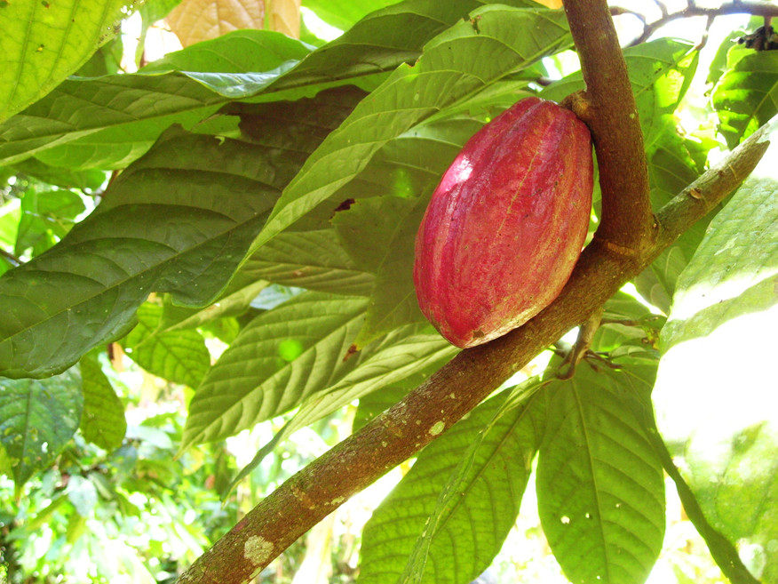 cacao pod grows on theobroma cacao trees