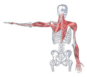 small intestine meridian, SI 3, SI 10, SI 11, small intestine 13