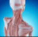 Neck muscles : SI 13, GB 20.png