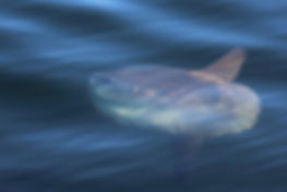 Sunfish in Shelburne Harbour