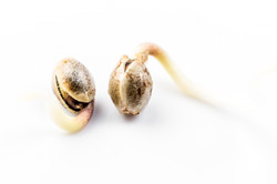 Hemp varietal seeds, sprouting and cultivation