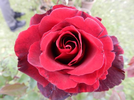 rosa le rouge e le noir.JPG