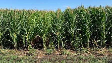 Corn Response to Nitrogen Rates