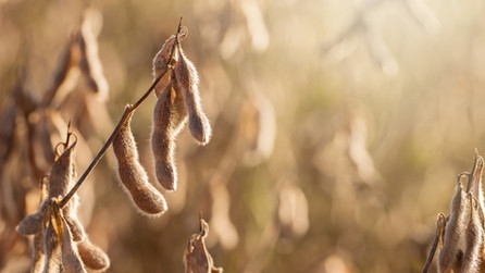 Influence of Seeding Rate and Planting Date on Soybean Yield