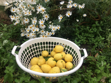 When life gives Yuki Lemons...