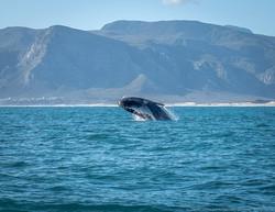 Hermanus whale 2