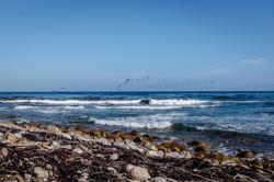 Cape Point kelp