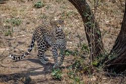 Leopard Moholoholo 1