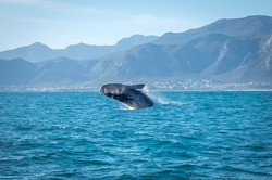 Hermanus whale 1