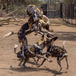 Wild Dog pile