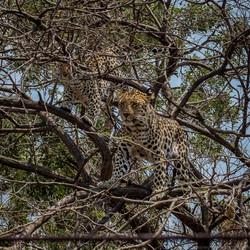 Leopard Moholoholo 2