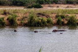 Kruger hippo family