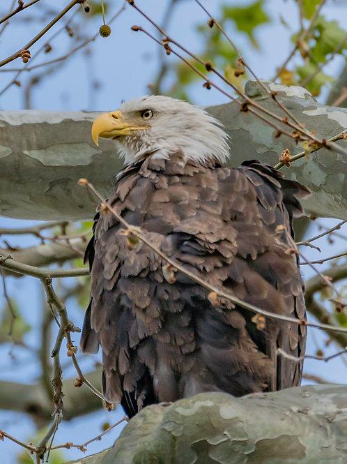 Conowingo Eagle 4