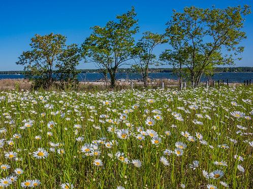 Maryland Flower Field
