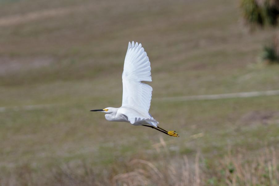 Florida White Egret