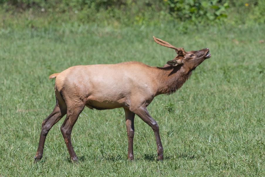Smokey Mountain Elk