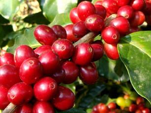 Cafeticultura y reconversión de cultivos, alternativa para el agro cuetzalteco: Martínez González