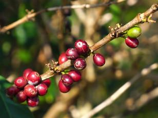 Para reconstruir cafeticultura, necesario un laboratorio de análisis de suelos en Hueytamalco