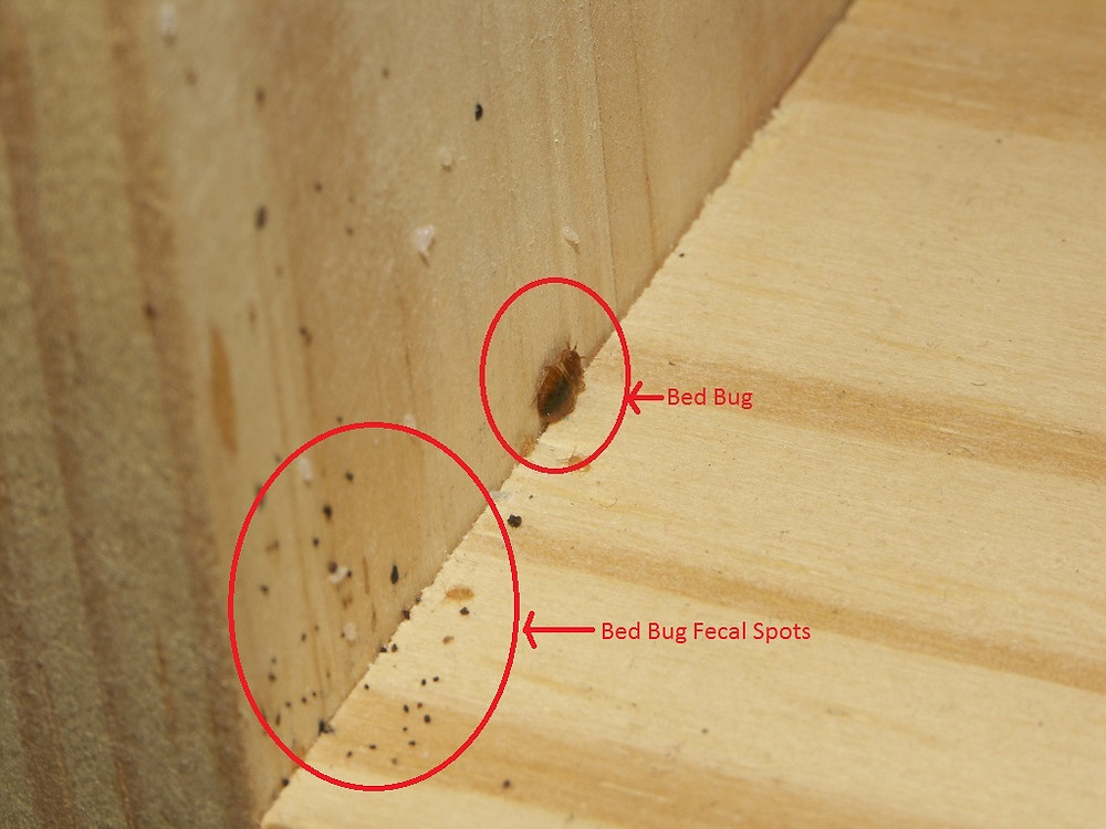 Great example of what to look for. Source: Bed Bug Bully http://www.bedbugbully.com/detox-your-home-of-bed-bugs-in-20-steps/