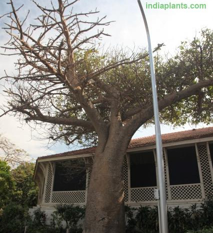 Adansonia digitata Baobab, Monkey Breadi