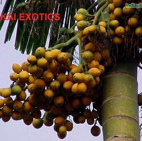 Areca catechu Betel Nut Palm_4.jpg