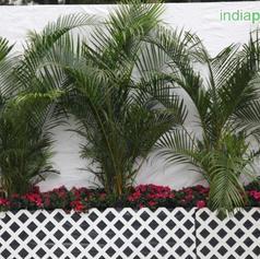 Areca palms_1.jpg