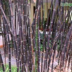 Bambusa lako black bambooimg1639_3360278