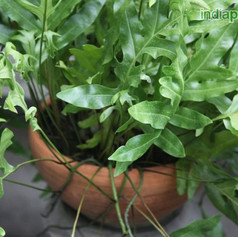 Polypodium species 2img2283_33583316.jpg