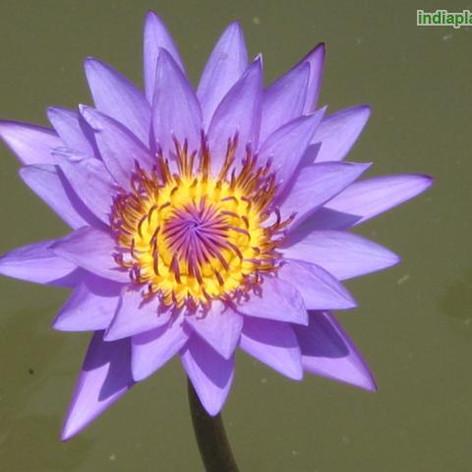 Nymphaea water lilyimg1532_33574495.jpg