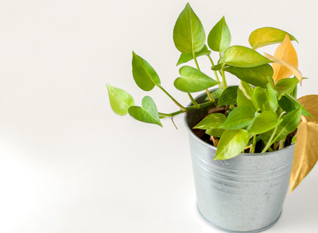 Plant leaves turning yellow ? Don't Worry..!